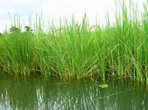 A deepwater rice field near Dhaka, Bangladesh. Credit Md Johir Uddin