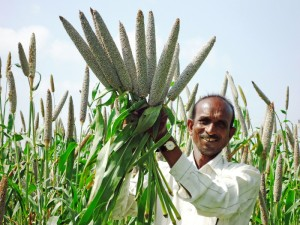 Pearl millet with genetic potential. Credit ICRISAT