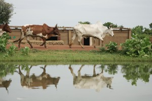 Cows walk along an irrigation canal in Niolo, Mali. Photo credit: Stevie Mann,  ILRI.