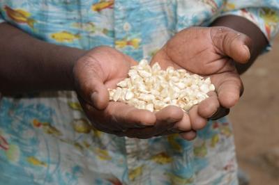 OAF improved maize varieties