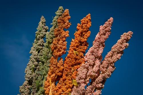 varieties of quinoa credit FAOALC